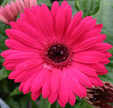 red pink daisy flower flowers free nature pictures by