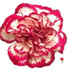 Purple Carnations 13 Best Fun Carnations Images On Pinterest Fresh Flowers