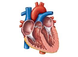 3d Human Anatomy Unlabeled Diagram Of The Heart Motivationquote Co