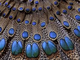 peacock feathers hd wallpapers this wallpaper