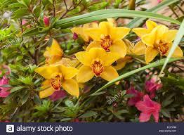 cymbidium orchid cymbidium orchid and azalea in bloom on a patio santa barbara