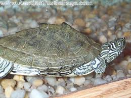 map turtle care sheet cagle s map
