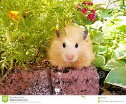 syrian hamster in spring garden among flowers stock photo image