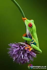 eyed tree frog agalychnis callidryas amphibia reptilia