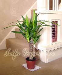 easyplants traditional evergreen indoor plant garden tree pot