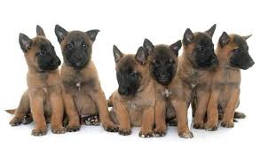 belgian sheepdog epilepsy belgian malinois dog complete breed profile