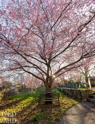 cherry blossoms archives wednesdays in marblehead