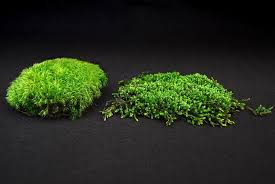 moss and knowing your acrocarp from your pleurocarp moss and gardens