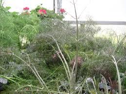 bronze fennel mixes with flower gardens