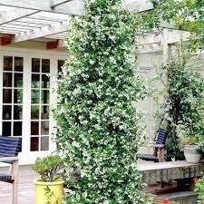 kletterpflanzen fã r balkon die schonsten kletterpflanzen die besten 25 immergra 1 4 ne