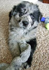 australian shepherd lab puppy 103 best k n i n e s images on pinterest animals dog and puppies