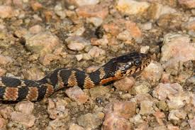 english pattern snake guides blotched water snake common snakes identification guide for the