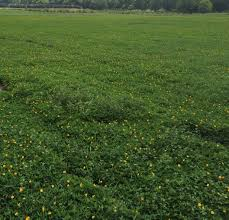 perennial peanut a great choice for panhandle pastures and