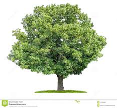 isolated lime tree on a white background royalty free stock photos