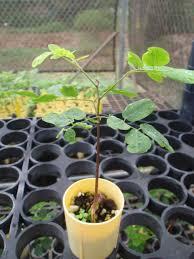 native hawaiian plants for sale uhiuhi native hawaiian garden nhg121215
