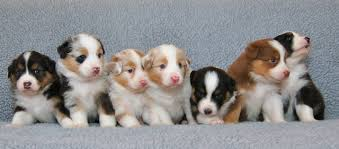 australian shepherd 4 weeks old 71 most cute australian shepherd puppies pictures and photos