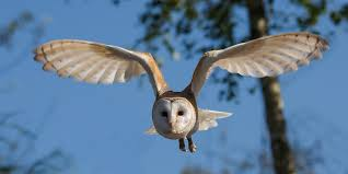 North American Barn Owl How To Attract Barn Owls And Keep Your Homestead Rodent Free