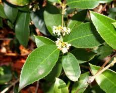 tea olive tree sweet smelling flowers