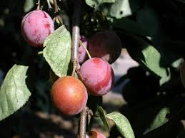 Best Fruit Trees For North Carolina - fruit trees recommended for south carolina hunker