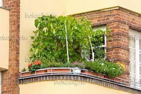 topfpflanzen balkon bild feuerbohne phaseolus coccineus auf einem balkon 475017