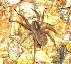 Brown Recluse Map Is This Brown Recluse Spider Backyard Pictures Kids Las