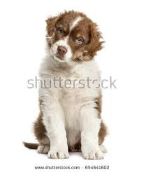 australian shepherd puppy 2 months free australian shepherd puppy looking at the camera and sitting