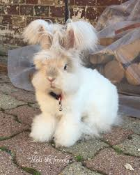 wally is an english angora rabbit who lives in massachusetts usa