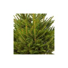 4ft christmas tree spruce real potted christmas tree