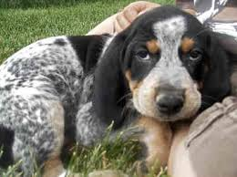 bluetick coonhound apparel bluetick coonhound puppies i need to cuddle with him products