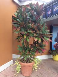 Outdoor Potted Plants Full Sun by Cordyline How To Grow And Care For The Hawaiian Ti Plant