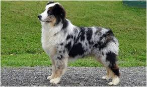 australian shepherd price australian shepherd puppies breeders price facts pictures