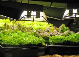 growing lettuce our edible garden