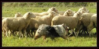 australian shepherd herding casa calado english australian shepherd and golden retriever