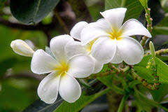 plumeria flowers plumeria flowers stock photos royalty free images