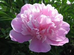 Peony Flower Peony Flower Flowers World
