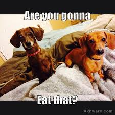 Dachshund Meme - 38 hillarious dachshund memes that will have you in splits