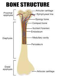 Related Keywords Suggestions For I - bone labeled diagram bone diagram related keywords suggestions bone diagram long jpg