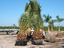 53 best florida wholesale plant nursery homestead palm nursery