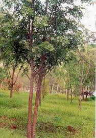Decorative Trees In India Tree List