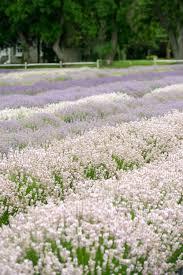 faq u2013 lavender by the bay