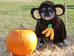 Dogs Halloween Costumes 25 Pug Halloween Costumes Ideas Pug Costume