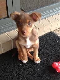 resume template customer service australian kelpie mix puppies here the kelpie is the national sheepdog and some people run