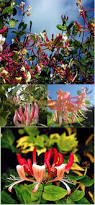 Fragrant Climbing Plant - climbing plants direct