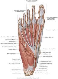 Foot Anatomy Nerves Ankle Block Procedures Consult Japan