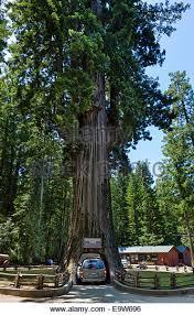 Chandelier Drive Through Tree Drive Thru Tree Stock Photos U0026 Drive Thru Tree Stock Images Alamy