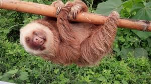 sloth rescued from ecuador highway shines in new habitat