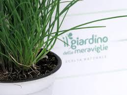 erba cipollina in vaso erba cipollina piante in vaso