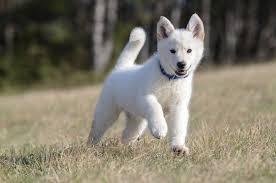 australian shepherd vs husky the husky shepherd mix is this hybrid right for your family