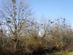 delaware native plants mistletoe an old tradition and a fascinating plant the nature