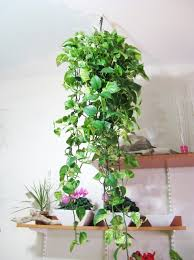 Good Luck Plants For Your Home My Decorative - Home decoration plants